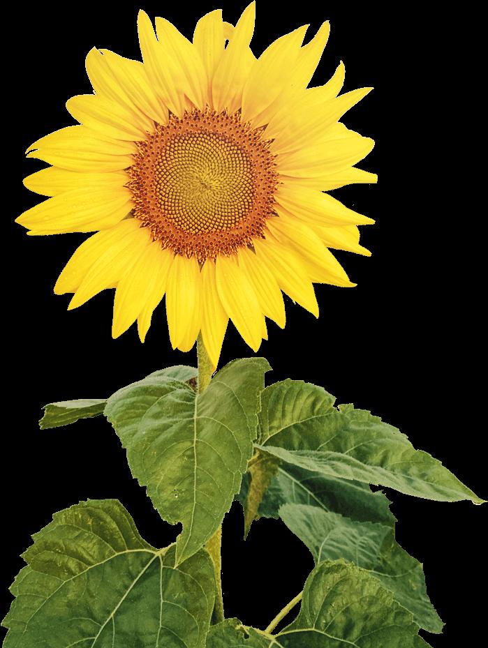 sunflower-adjusted-min